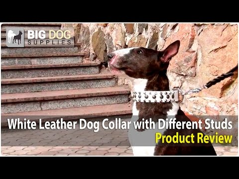 Bull Terrier, Pit Bull and American Bulldog Wearing White Studded Leather Dog Collar