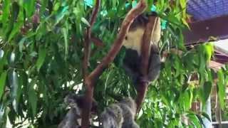 2012年7月Cairns Tropical Zooにて。 コアラの鳴き声とケンカ。