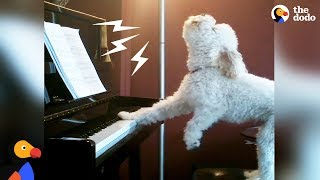 Singing Dog Loves to Play Piano  Other Dogs Who Found Their Passion In Life  The Dodo