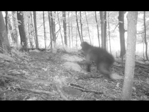 ACTUAL Bigfoot Finally Caught on Camera 2017?! [Real ...
