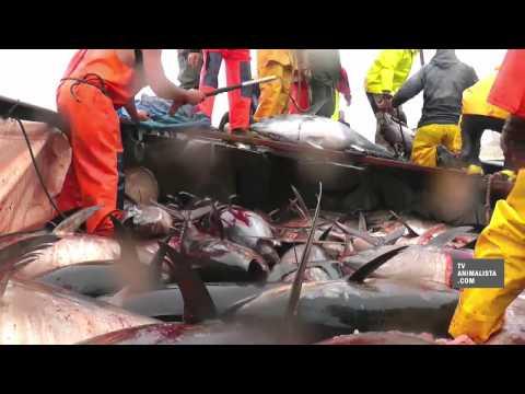 Matanzas de atunes filmadas por Igualdad Animal