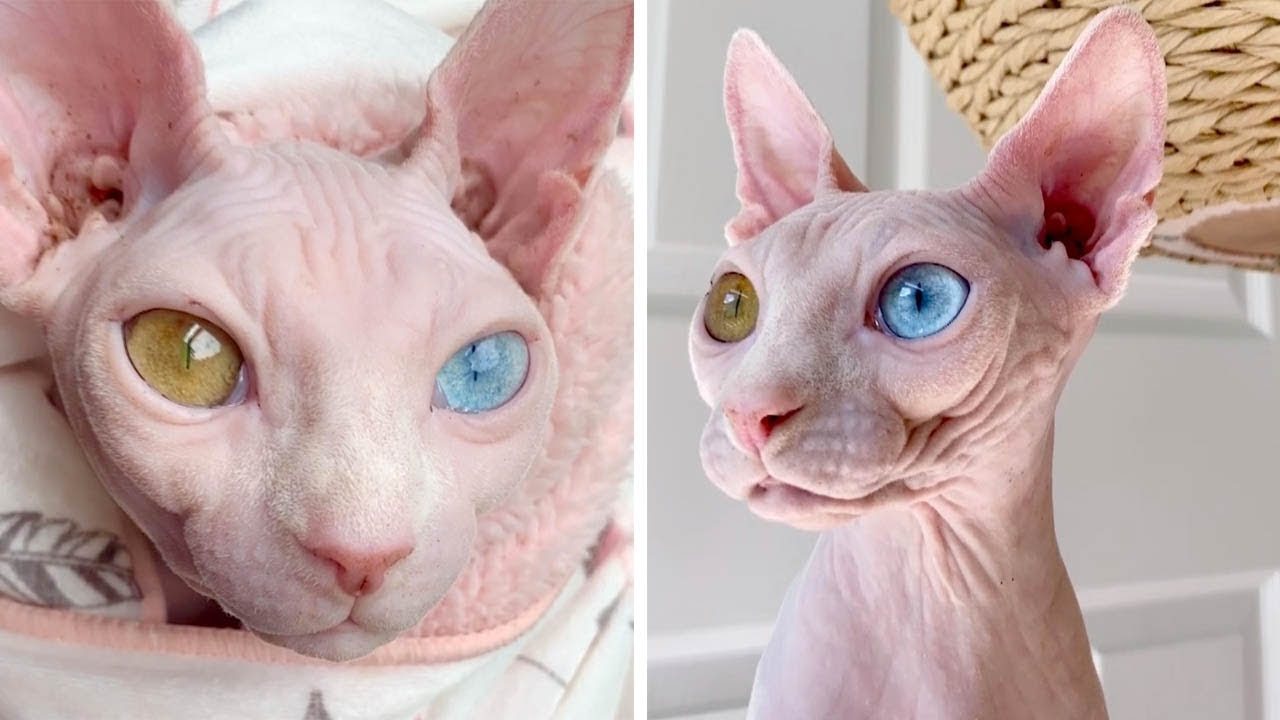 Sphynx Cats Have Different Coloured Eyes - YouTube