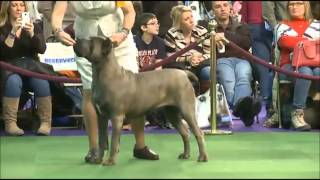 2015 Westminster Cane Corso Breed Judging