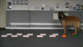 Dog Trick - Stepping Stones. Dog Training In Fareham Www.tammysdogtraining.co.uk