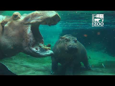 Hippo Family Re-union - Henry Back with Fiona and Bibi - Cincinnati Zoo