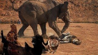 ああ、神様! 象のクレイジーな強さ 象の保存バッファローのライオンの...