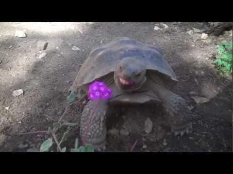 Mojave Desert Tortoise Spring 2013