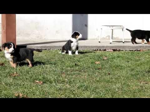Bernese Mountain Dog Mix Puppies For Sale Reuben Stoltzfus