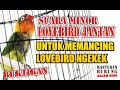 Lovebird Jantan Ngekek Minor Fighter Walang Kecek  Mp3 - Mp4 Download