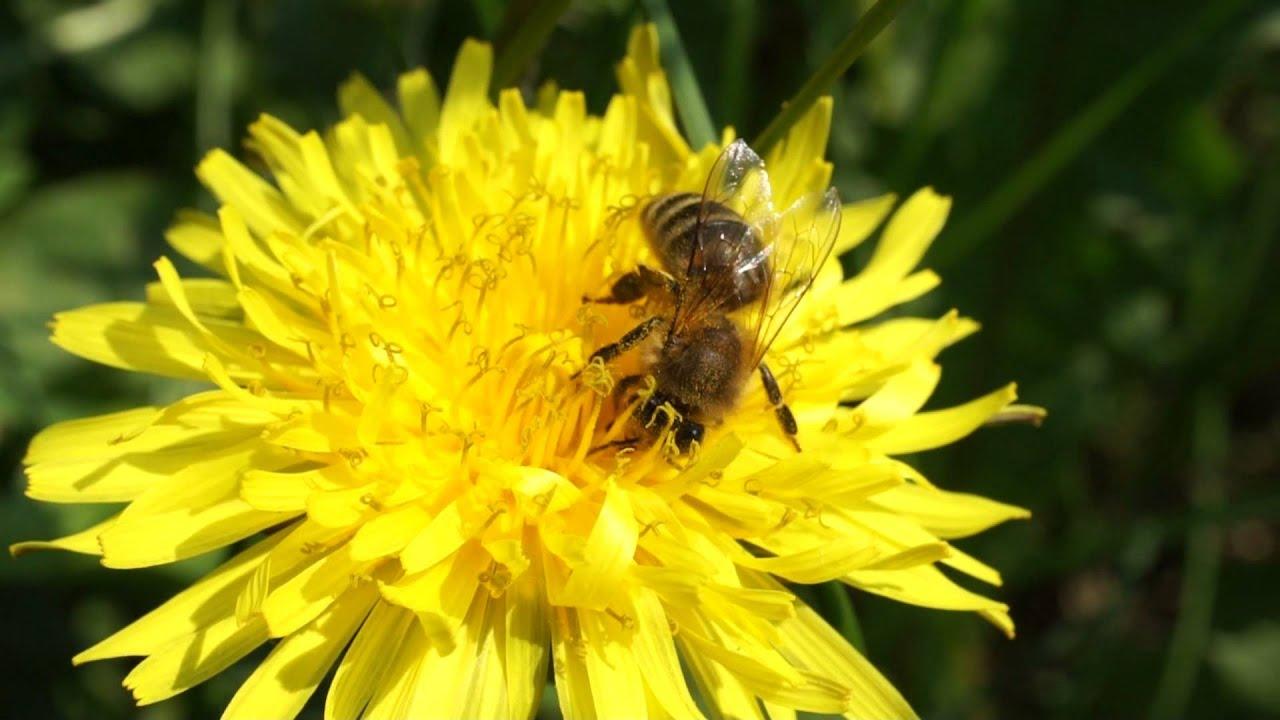 картинки пчела на цветке