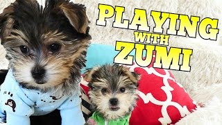 Puppy Playtime with Zumi | Toys Part #1 | 10 Week Old DCTC Dog
