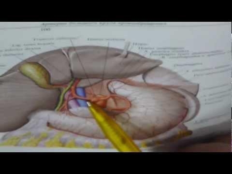 Anatomy - Artery