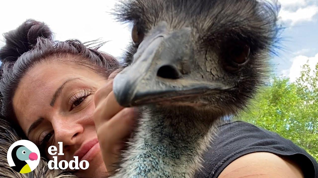 Emu con una actitud picante aprende a acurrucarse con su mamá   El Dodo