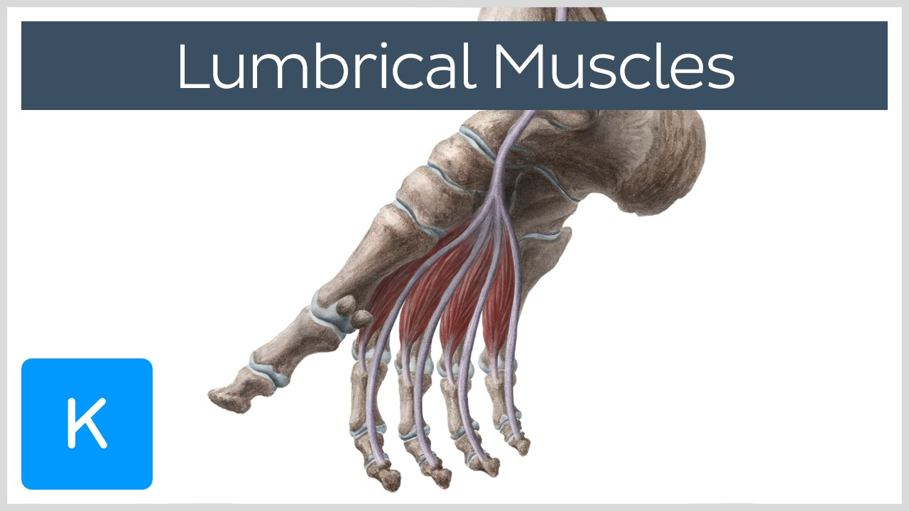 Lumbrical Muscles of the Foot - Human Anatomy | Kenhub - YouTube