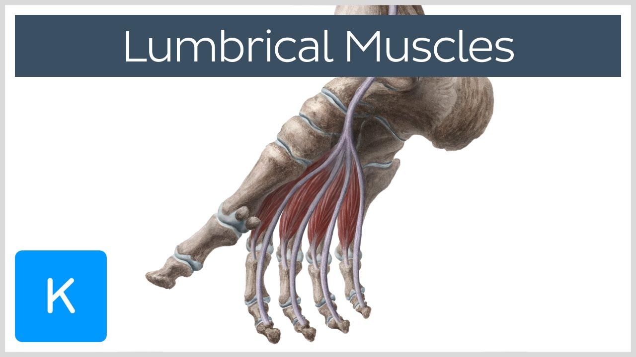 muscle diagram anterior hand 2003 honda accord ecu wiring lumbrical muscles of the foot - human anatomy | kenhub youtube