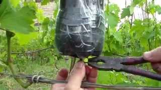 Выращивание саженцев НА КУСТЕ-  воздушным отводком