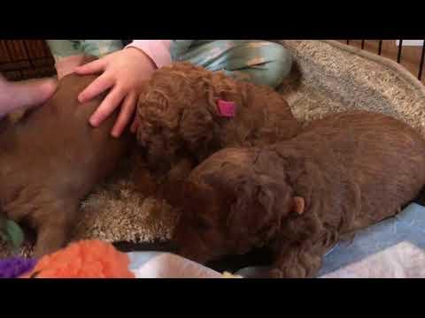 Beasley/Burton F1b Petite Goldendoodle puppies 3 weeks part 1 Of 2