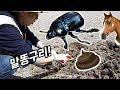 말똥에 곤충이 산다? 똥을 사랑하는 곤충발견!