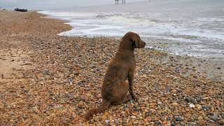 3 Dogs (Springer, Labrador, Chesapeake Bay Retriever puppy) playing on Sizewell Beach a month later