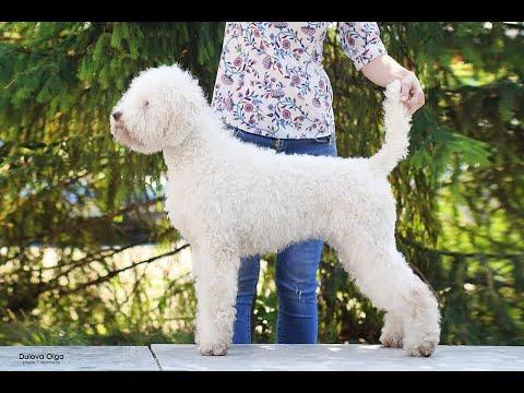 Редкая порода собак! Лаготто романьоло. У нас в гостях Ирина Ерёмина и её прекрасные собаки.