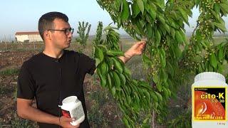Meyve Ağaçlarında Potasyumlu Gübreleme (Cito - K)