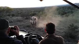 Rhino charge in Addo Elephant National Park
