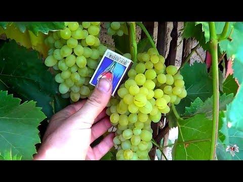 Сорт Винограда. Кишмиш 342. Виноград 2016.