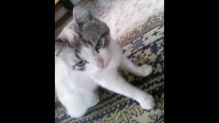 кошак слушает мяуканье и странно себя ведет котик