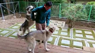 小さい方は アラスカンハスキーのジェリー (♀2歳) 大きい方が アラス...