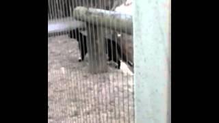 Black panther stalking zoo keeper
