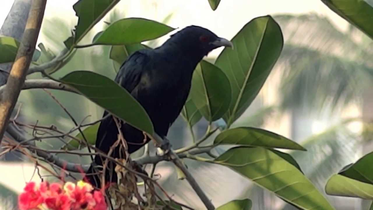 Birds In Their Natural Habitat-indian Cuckoo Or Koel,male