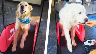 DOGS TRY TREADMILL FOR THE FIRST TIME - Super Cooper Sunday #190