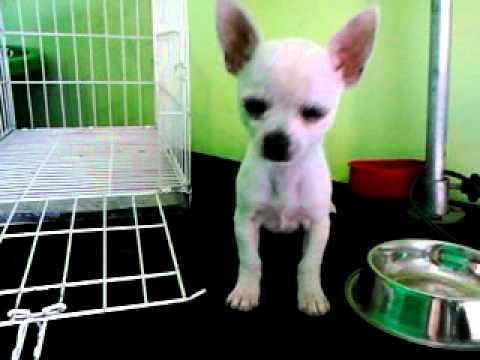 Centro Veterinario Perrita Chihuahua Ladrando Youtube
