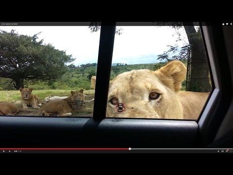 Lion opens car door