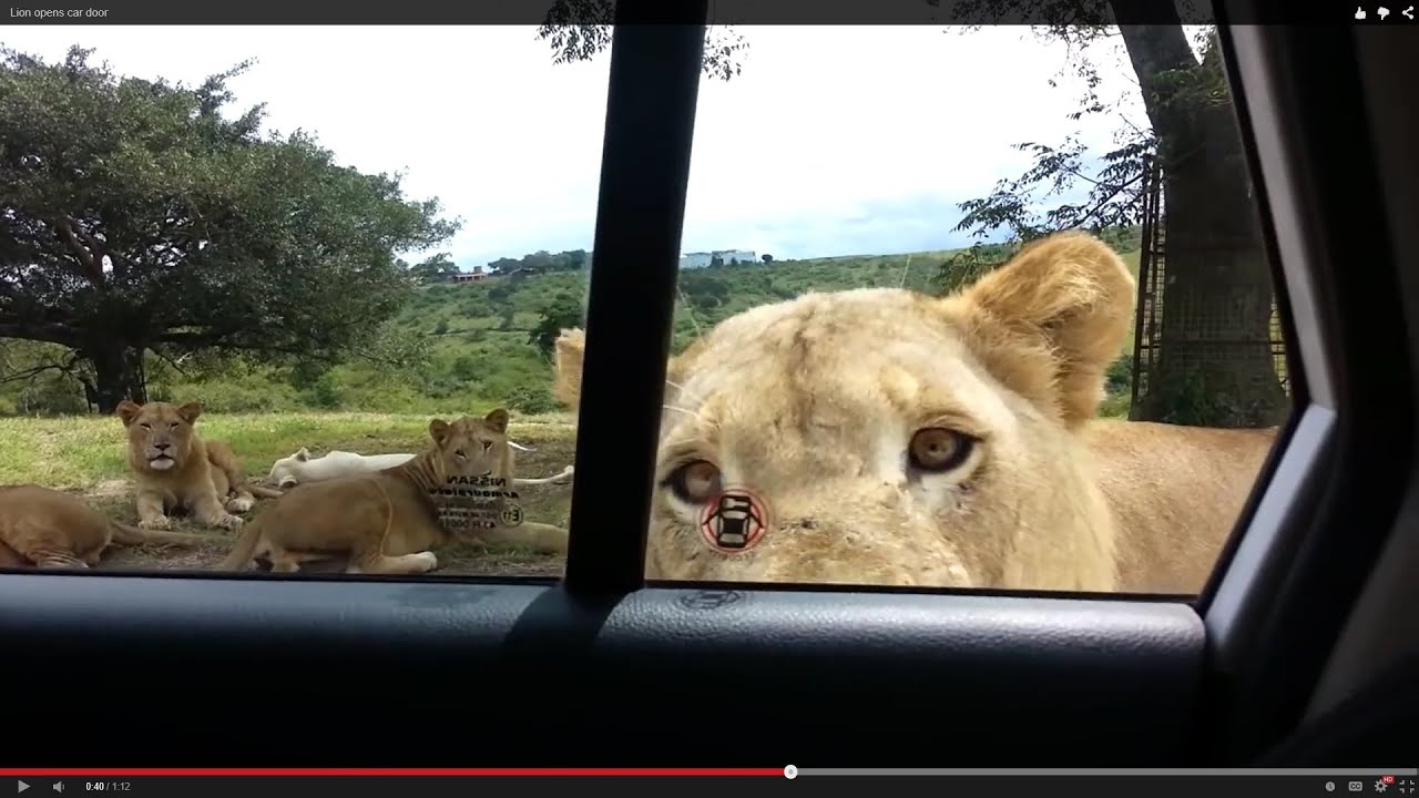 Lion Opens Car Door Youtube