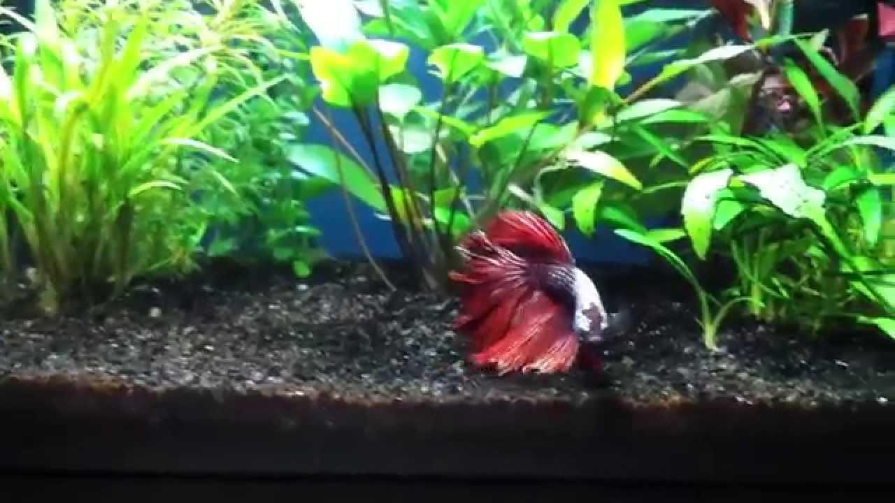 Halfmoon red dragon betta update 5 gallon community for 5 gallon betta fish tank