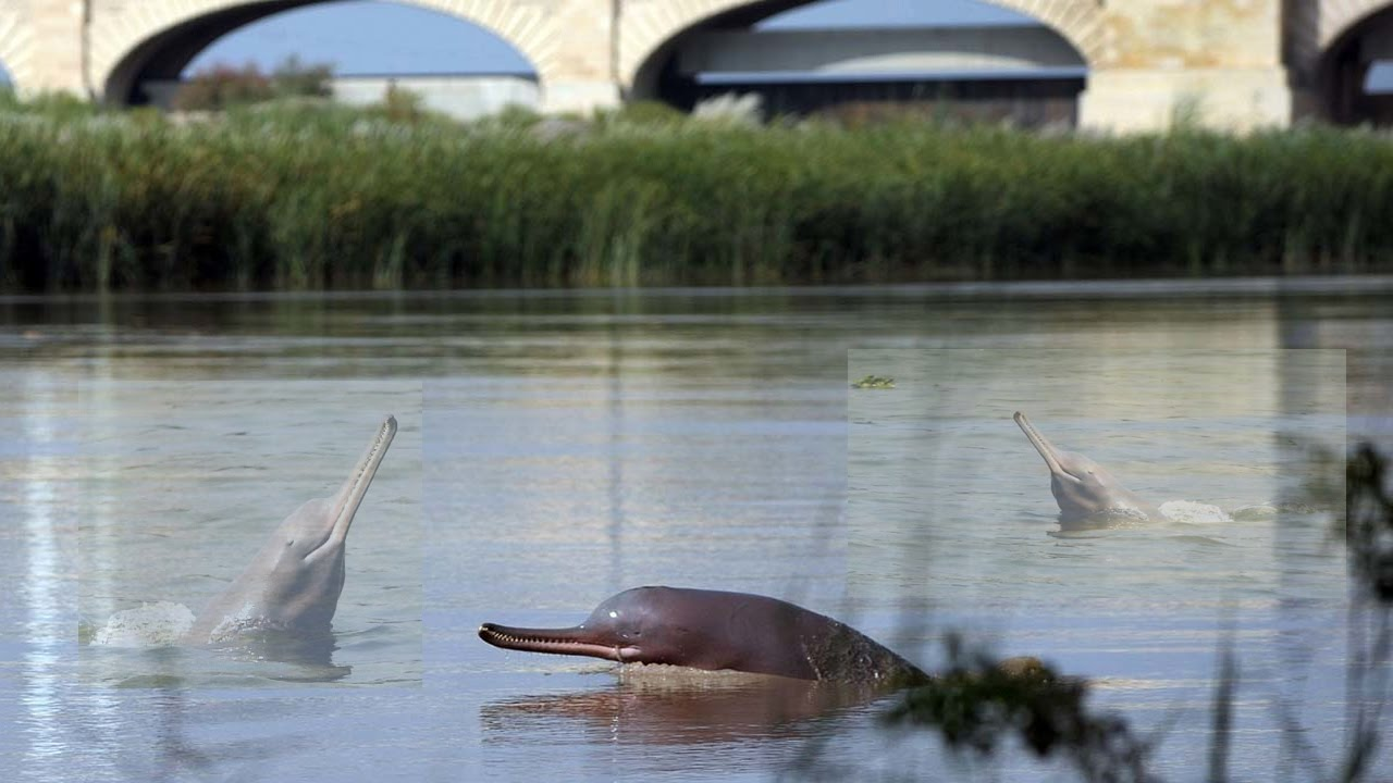 Dolphin fish group jumping in river indus youtube for Freshwater dolphin fish