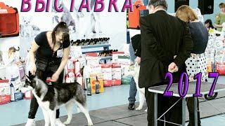 Выставка собак. Сибирский Хаски  Dog show.Siberian Husky