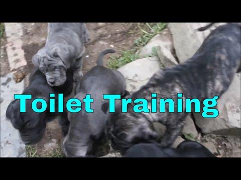Morning Toilet Training & Raising Neapolitan Mastiff Puppies