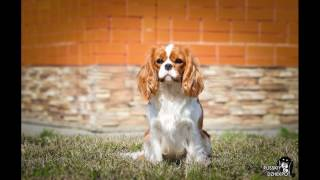 9.04.2017 Международная выставка собак САСIB г. Белгород