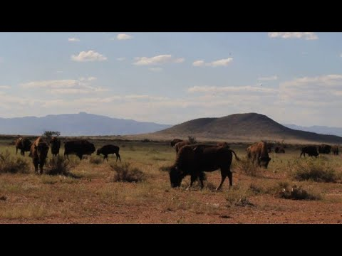Bison thriving at Mexican ranch near US border