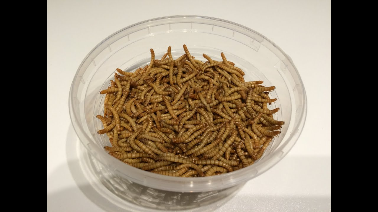 Ofera insects breeding mealworms organic fishfood for for Organic fish food