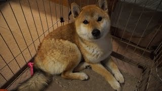 【しばわんこ日記】ごはんの時間【柴犬タロウ】 Shibainu