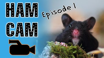 """HAM CAM"" 25:00 of Hamster Exploring In Cage 