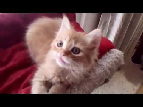 Missy's Red Tabby Longhaired Japanese Bobtail Kitten - 09/03/18