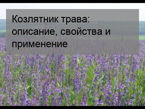 Козлятник трава: описание, свойства и применение