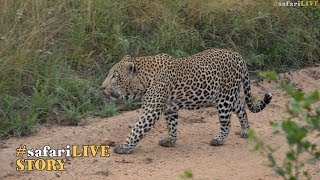 Game of Thrones: The male leopards of Djuma