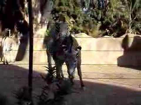 Gay Donkeys Mating Breeding BURRO MARICA - Travel and ...
