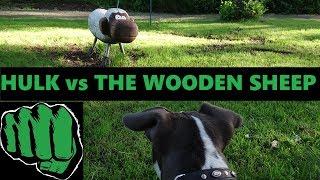 HULK The American Bully Puppies sworn Enemy