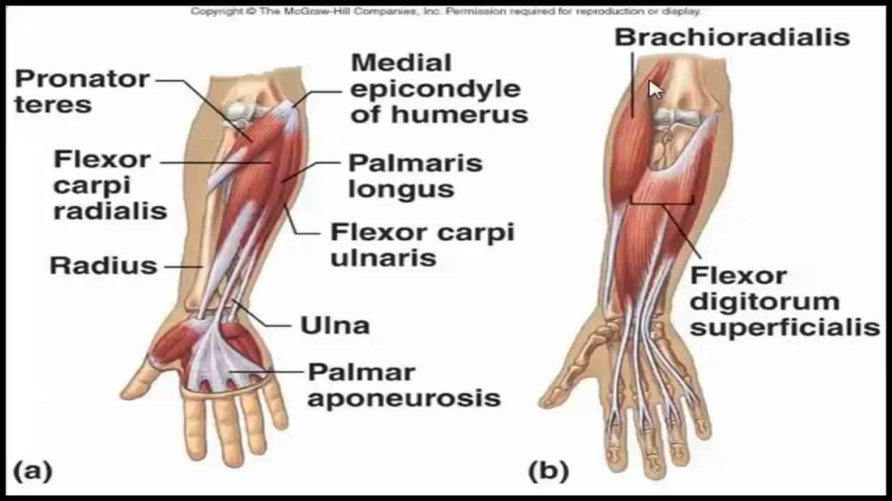 Brachial plexus and brachium and the forearm and the hand - YouTube